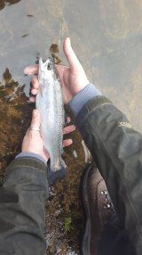 spring rainbow trout, caught on a dry fly-31032136831046382290..jpg